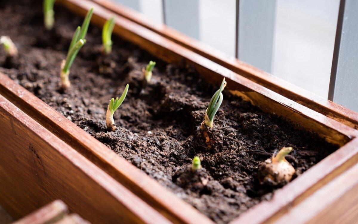 auginti varpą namuose)