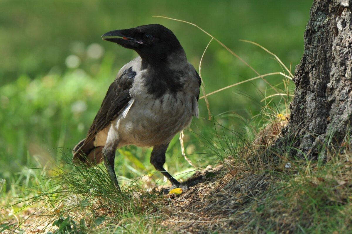 kurie paukščiai turi varpą)