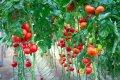 Daržininko gudrybės, leidžiančios ir rugsėjį skinti savo pomidorus