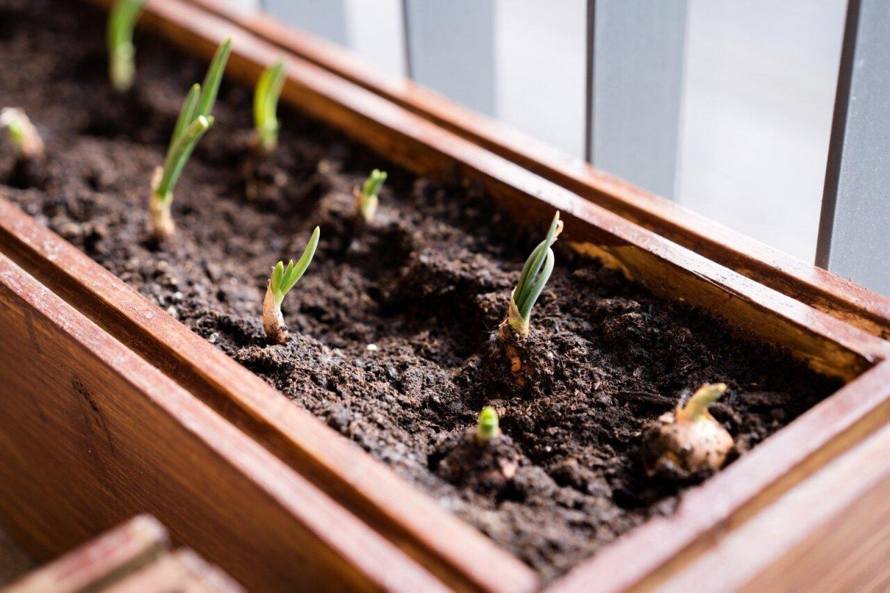 kada auginti varpą