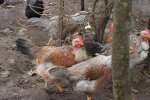 Perspėjama apie didelę paukščių gripo grėsmę Lietuvoje
