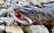 Lietuvių vis labiau mėgiama žuvis: panaši į ungurį, nėra ašakų, neriebi ir ne tokia brangi