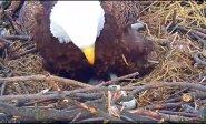Iš erelių gyvenimo: mažylis laukia mamos dėmesio ir tėvo su žuvimi snape