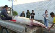 Heilongdziango upėje pagautas 514 kg sveriantis eršketas