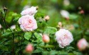 Sodininkų triukas: kaip iš vienos bulvės išauginti visą rožės krūmą