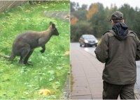 Tragiška kengūriuko baigtis įsiutino gyvūnų gynėjus: šito taip nepaliks