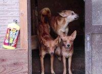 Iš vienų namų Japonijoje išgelbėti 164 šunys