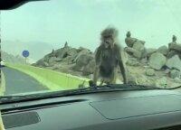 Vairuotojas nufilmavo itin drąsią ir alkaną beždžionėlę