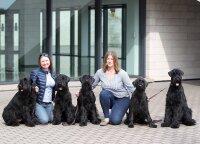 Ryzenšnaucerių veisėjos: šios veislės šunys – ne kiekvienam