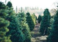 Patarimai, kaip draugiškai atsisveikinti su Kalėdų eglute