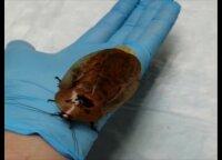 Krasnojarsko veterinarė išgelbėjo gyvybę milžiniškai tarakono patelei
