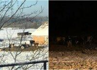 Lauke šąlantys galvijai sujaudino Panevėžio rajono gyventoją: ūkininko elgesiu moteris negali atsistebėti