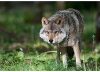 Vilkai ožius pjovė prie namų, į skalijančius šunis nekreipė dėmesio