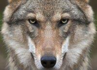 Vilkų medžioklės sezonas baigėsi, bet medžiotojai prašo pratęsti – pilkiai braunasi į sodybas