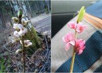 Miškuose ne laiku pražydęs vienas pavojingiausių augalų prognozuoja, kad žiemos jau gali ir nebūti