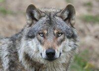 Apsaugai nuo vilkų dar galima gauti paramos