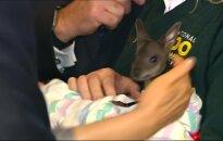 Kinijos ministro primininko susitikimą su Australijoje paįvairino kengūros jauniklis