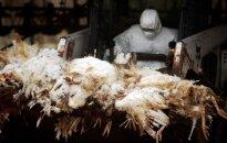 Skamba įspėjimai: Europoje plinta paukščių gripas