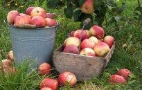 Lietuviškų obuolių mėgėjams – nekokios naujienos