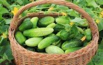 Pirmosios lietuviškos daržovės: pigu nebus