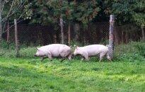 Neįveikiant kiaulių maro, ūkininkai nemato plėtros galimybių