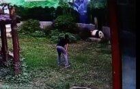 Drąsą norėjęs pademonstruoti vyras vos ištrūko iš pandos glėbio