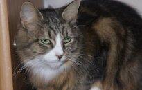 Naujų namų ieško katytė Šanti