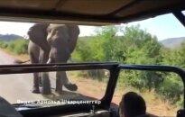 Dramblys užpuolė A. Schwarzeneggerio automobilį - kai kam teko pasikeisti kelnes