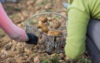Dėl mažų supirkimo kainų naujas lietuviškų bulvių derlius keliaus į užsienį
