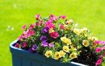 Lietuvoje aptikta genetiškai modifikuotų petunijų