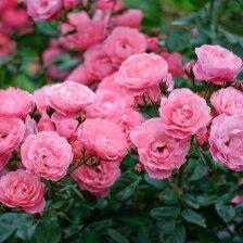 Rožės išauginimas iš stiebelio