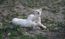 Tailandiečio godumas: 14 albinosų liūtų, jaučiaragis ir surikatos gyveno sandėlyje