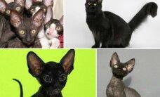 Prietaringiems geriau ten nekelti kojos: Kaune vyks juodų kačių šou