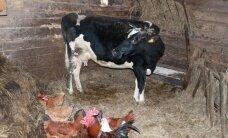 Ūkininkai įspėjami saugoti nuo šalčio savo gyvūnus