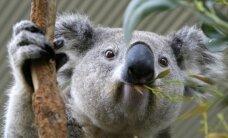 Atradimas: koalos, trokšdamos poruotis, galingai riaumoja
