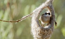 Neištikimybė gamtoje: šiems paukščiams viena patelė – ne riba