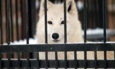 Šiauriniai elniai ir arktiniai vilkai zoologijos sode pasijuto bjauriai