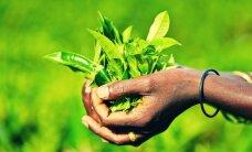 Žaliosios arbatos galia jūsų kūnui