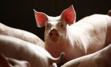 Kiaulių maras. Ūkininkų tvartuose – dar nematyti reikalavimai