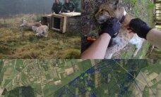 Kur bastosi Lietuvos lūšys? GPS siųstuvai atskleidė neįprastus Lietuvos miško kačių maršrutus
