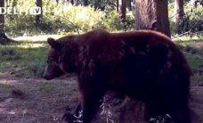 Medžiotojai išnaikino rudąsias meškas Lietuvoje