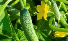 Dažniausios agurkų ligos ir kenkėjai