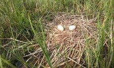 Gervės padėjo kiaušinius/ Žuvinto biosferos rezervato nuotr.