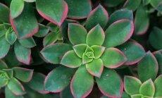 """<span style=""""color: #ff0000;"""">VIDEO:</span> kaip per valandą sukurti spalvingą paveikslą iš kambarinių augalų"""