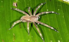 Brazilijos klajojantis voras