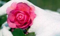 Kaip šilta žiema ir staiga atėjęs šaltukas paveiks augalus?