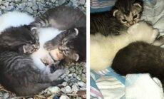 Kačiukai saugo savo sesę