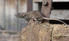 Žiurkės namuose