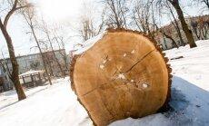 Šimtamečiai lietuviški medžiai Lietuvos miestų greitai nebepuoš