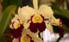 """<span style=""""color: #ff0000;"""">Specialiai iš Tailando:</span> įspūdžiai iš orchidėjų parodos (VIRŠ 70 FOTO)"""